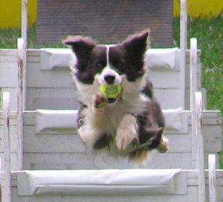 Activities-flyball