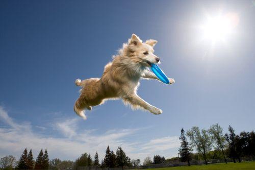 Frisbeedog