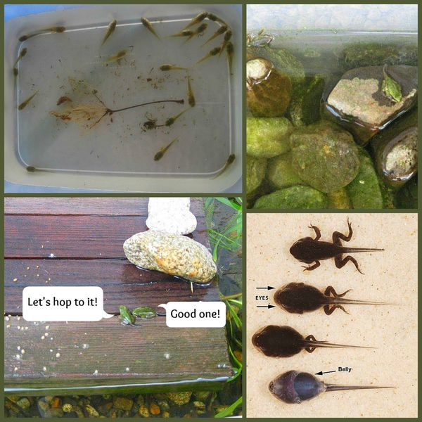 Looking After Tadpoles: Tips to Help You Do It Successfully
