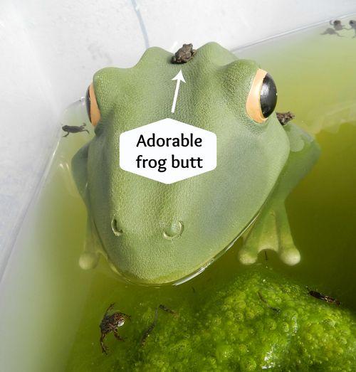 Frog butt