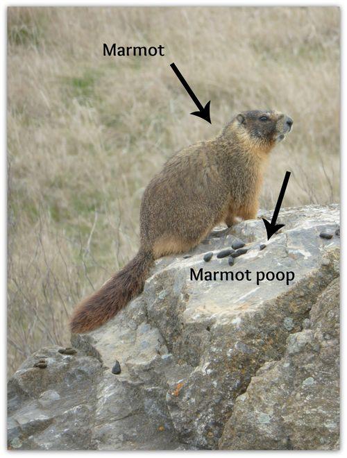 Marmot9