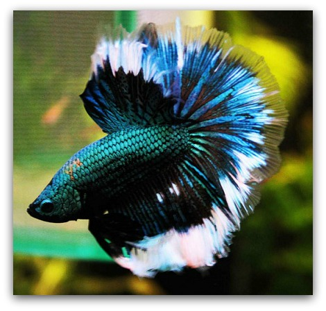 Betta fish 2