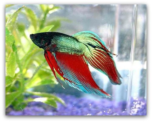 How To Optimize Betta Fish Life Expectancy The Pet Blog Lady