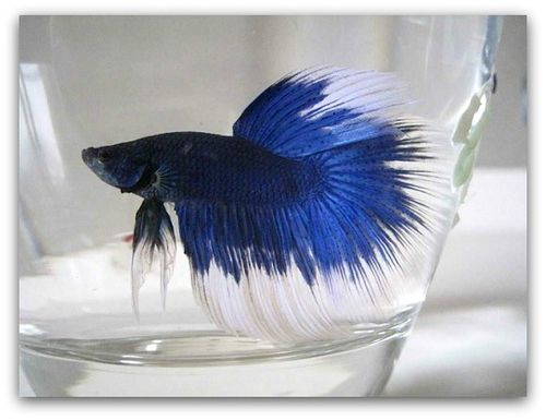 pet fish life expectancy betta fish life expectancy the