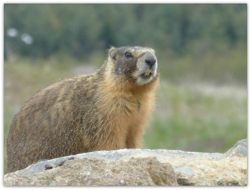 Marmot7