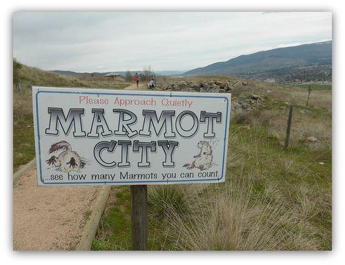 Marmot1