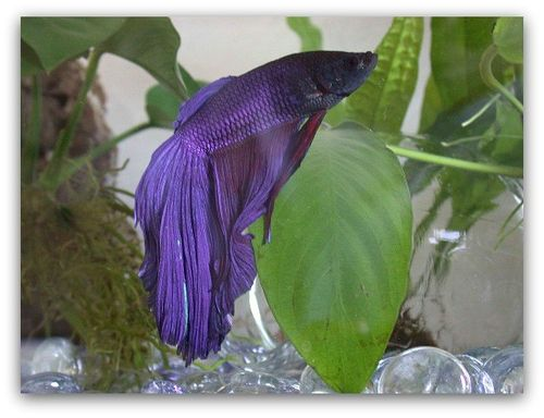 Betta fish 5