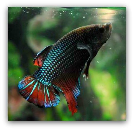 Betta fish 1