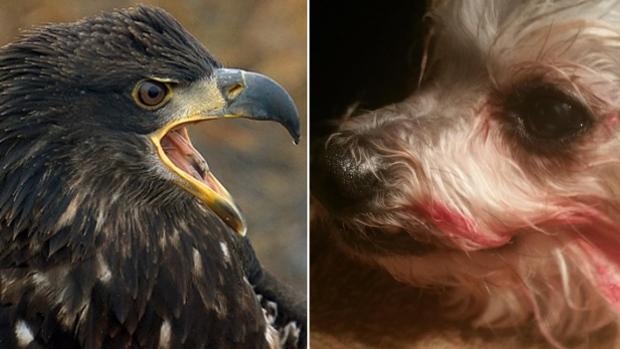 Hawk attack3