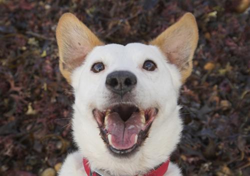 Bigstock-Laughing-Dog-242942