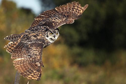 Great-horned-owl-in-flight