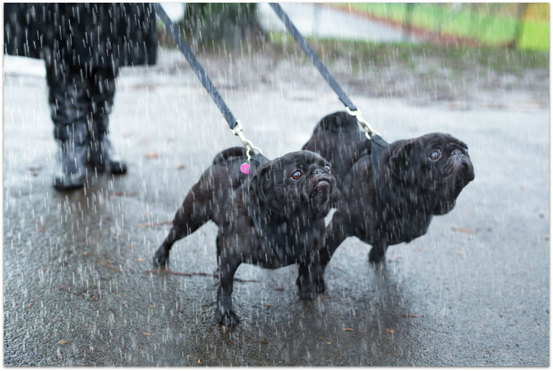 Rainy with dogs