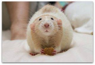 Marty rat