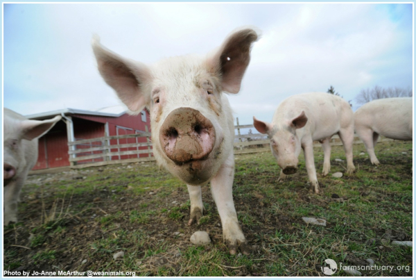 pigs in animal farm essay These similarities and differences of overwhelming personal adversity in animal farm by george  comparative essay on the giver and animal  over the pigs with.