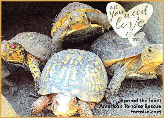 American Tortoise Rescue - Turtles Need Love Too! - The Pet