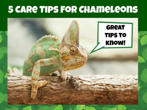 Chameleons header