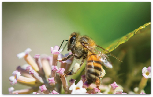 BEEAn Africanized honey bee feeds on a cluster of flowers. (1)