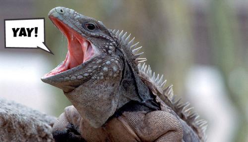 Iguana YAY