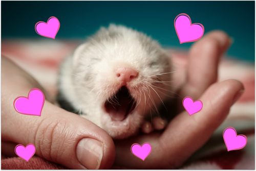 Ferret with hearts