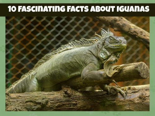 Iguana header