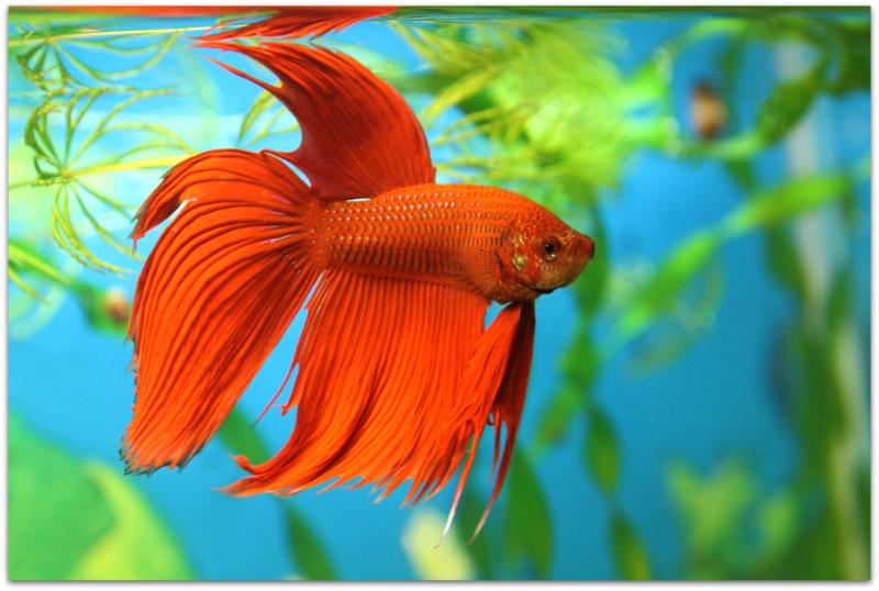 Fish beta